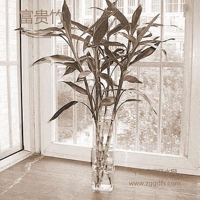 怎样妙用富贵竹来开展风水摆设