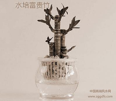富贵竹风水学学